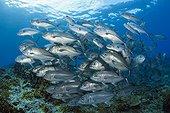 Shoal of Bigeye Trevally - Solomon Islands