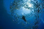 Diver and Shoal of Bigeye Trevally - Solomon Islands