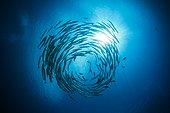 Banc de Barracudas à nageoires noires - Iles Salomon