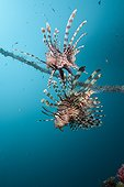 Lionfish at Mbike Wreck - Solomon Islands