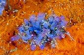 Claveline bleue sur récif - Iles Salomon