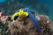 Yellow Nudibranch on Blue Starfish - Solomon Islands