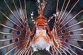 Portrait of Spotfin Lionfish - Solomon Islands