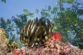 Crinoid on top reef - Solomon Islands ; Marovo Lagoon