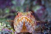 Portrait of Reef Lizardfish in reef - Solomon Islands ; Marovo Lagoon
