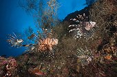 Red Lionfishes on reef - Solomon Islands ; Marovo Lagoon