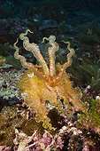 Broadclub Cuttlefish  on reef - Solomon Islands ; Marovo Lagoon