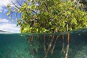 Stilt Roots of Mangrove Tree - Solomon Islands