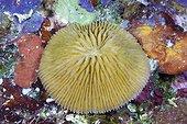 Mushroom Coral on reef - Solomon Islands