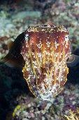 Broadclub Cuttlefish on reef - Solomon Islands