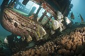 Shoal of Longfin Batfish on small Wreck  - Solomon Islands