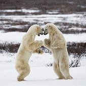 Polar bear playing with each other in the tundra - Canada