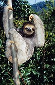 Pale-throated thee-toed sloth