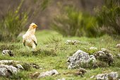 Egyptian vulture on ground - Castile and Leon Spain
