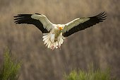 Egyptian vulture in flight - Castile and Leon Spain