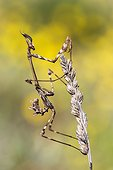 Conhehead Mantis on ear - Spain
