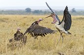 Lappet-faced vulture in conflict with marabou stork -  Kenya