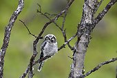 Young Northern Hawk Owl on a branch - Varanger Norway