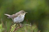 Willow Warbler on a twig - Varanger Norway