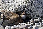 Young Arctic Tern calling - Varanger Norway
