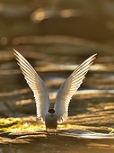 Arctic Tern landing at dusk - Varanger Norway