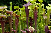 Pitcherplants in a garden