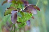 Pitcherplant in bloom in a garden