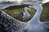 Wandering Albatross displaying - South Georgia ; Albatross Island in Bay of Isles