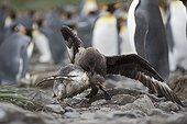 Labbe antarctique attaquant un jeune Manchot -Géorgie du Sud ; Holmestrand