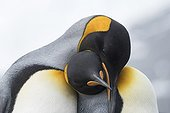 King penguins couple cuddling - South Georgia ; Gold Harbour
