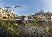 Common Frogs and spawn in pond in spring - Norfolk UK