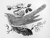 Gravure sur bois de Coucou gris  ; par Thomas Bewick publié dans l'histoire des oiseaux terrestres Vol 1 1797