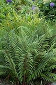 Soft shield fern in a garden