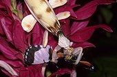 Eyed flower mantid (Hymenopus coronatus) eating a passion vine butterfly (Heliconius ismenius), Georgia, USA