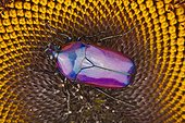 Flower beetle (Chlorocala africana)