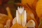 Orchid mantid (Hymenopus coronatus), Florida, USA