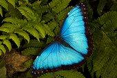 Blue morpho butterfly (Morpho peleides), Florida, USA