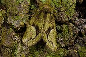 Lichen moth (Afrida ydatodes), Gainesville, Florida, USA