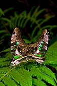 Tailed-jay butterflies (Graphium agamemnon) mating, Florida, USA