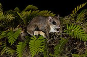 Southern flying squirrel (Glaucomys volans), Gainesville, Florida, USA