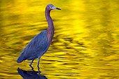 Reddish egret (Egretta rufescens), Ding Darling National Wildlife Refuge, Saibel Island, Florida, USA