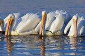 American white pelicans, Ding Darling National Wildlife Refuge, Sanibel Island, Florida, USA