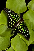 Tailed jay butterfly (Graphium agamemnon), Butterfly Rainforest, Florida, USA