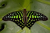 Tailed-jay butterfly (Graphium agamemnon), Florida, USA