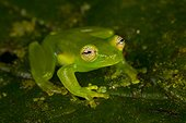 Spiny Cochran frog (Teratohyla spinosa), Siquirres, Rainforest, Limon, Costa Rica