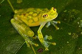 Reticulated glass frog, Siquirres, Rainforest, Limon, Costa Rica