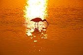 White ibis (Eudocimus albus), Ding Darling National Wildlife Refuge, Sanibel Island, Florida, USA