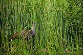 Limpkin (Aramus guarauna) with apple snail, Sweetwater Wetalnds Park, Gainesville, Florida, USA