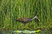 Limpkin (Aramus guarauna) and apple snail egg clusters, Sweetwater Wetlands Park, Gainesville), Florida, USA