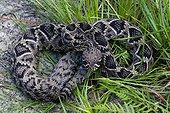 Eastern diamondback rattlesnake, Alachua, Florida, USA